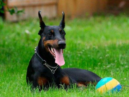 Собака доберман - описание породы
