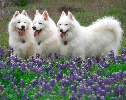 Самоеды порода собак самоед самоедская лайка
