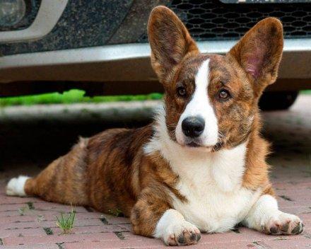 Кардиган порода собак