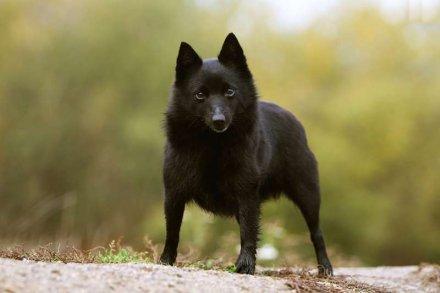 Шипперке: фото породы собак шипперке. Описание и фотографии шипперке взрослых и щенков.
