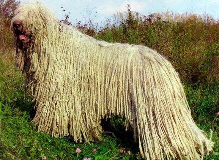 Пули венгерская овчарка