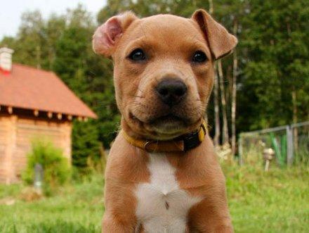Стаффордширский терьер (55 фото): порода собак стаф, тигровый и черный стафтерьер, мини, описание, видео