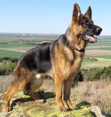 Кличка для собаки девочки овчарки немецкой