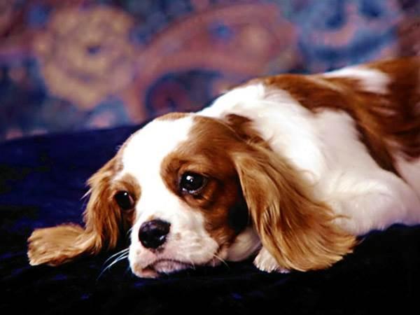 Мочекаменная болезнь у собак: симптомы, препараты и диета