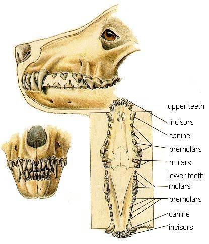 Пародонтоз у собак: признаки, лечение и профилактика