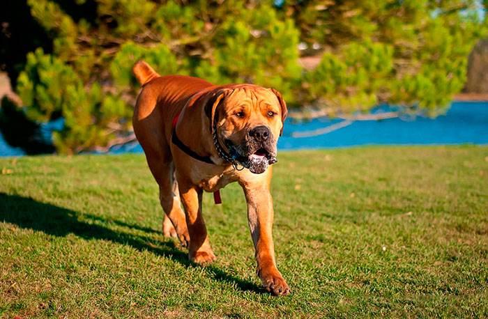 Такса собака характер болезни уход фото