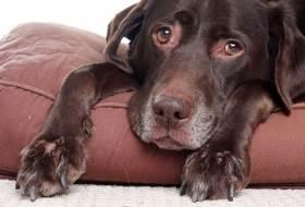 Остеоартроз у собак - лечение и симптомы