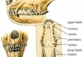 Зубы и пародонтоз у собак