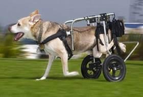 Дисплазия тазобедренных суставов у собак - лечение и симптомы