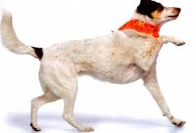 Как научить собаку хромать