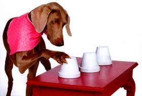 Собака играет в «наперстки»