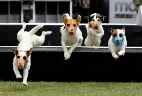 Прыжки собаки с жезлом