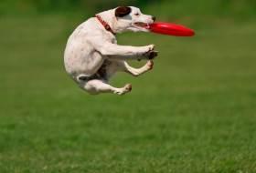 Игра собака ловит диск
