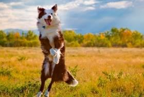 Собака - прыжки на месте