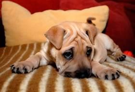 Собака ложит голову