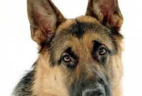 Кличка для собаки девочки немецкой овчарки