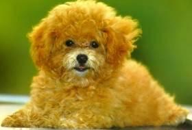 Карликовый пудель - описание собаки