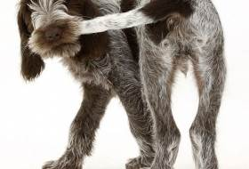 Почему собака виляет хвостом