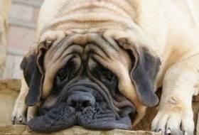 Английский мастиф: самая крупная собака из ныне живущих нa земле