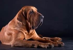 Порода собак фила бразилейро или бразильский фила