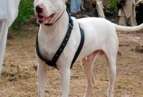 Собака Гуль донг или Пакистанский бульдог