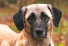 Порода собак Кангал (Кангальский карабаш)