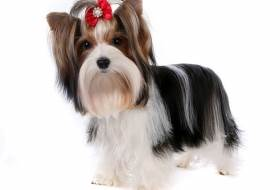 Порода собак бивер йорк