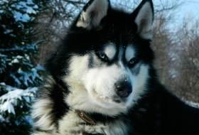 Порода собак Аляскинский Маламут