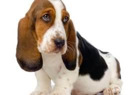 Порода собак бассет хаунд