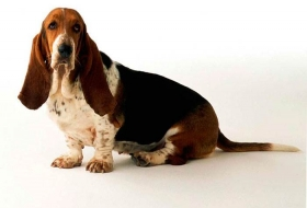 Уход за гладкошерстными собаками с короткой шерстью