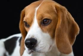 Собака Бигль - описание породы и характер
