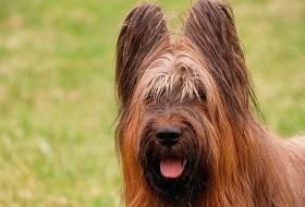 Порода собак бриар - французская овчарка