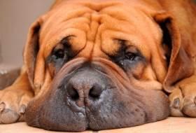 Порода собак африканский бурбуль