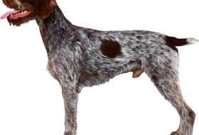 Собака дратхаар - описание породы