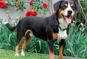 Собака энтлебухер зенненхунд - описание породы