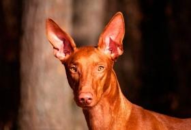 Фараонова собака описание породы