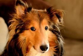 Порода собак колли - шотландская овчарка