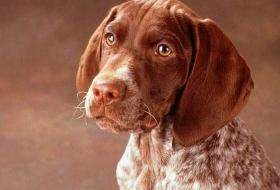 Немецкая охотничья собака породы курцхаар