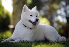 Собака самоедская лайка