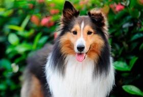 Уход за собаками с густой двухслойной шерстью