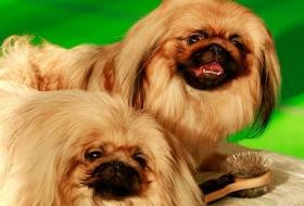 Уход за собаками с комбинированным типом шерсти