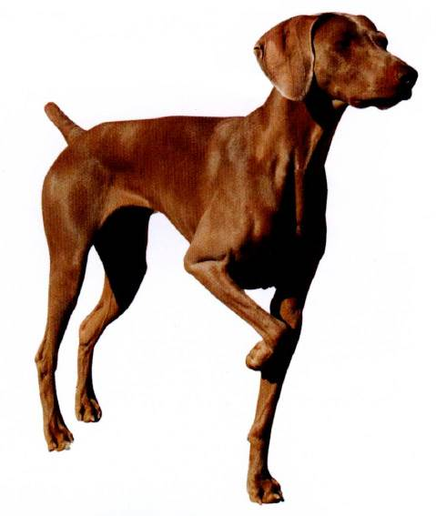 охотничья собака замирающая в стойке