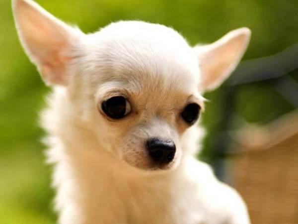 Чихуахуа, описание породы собаки