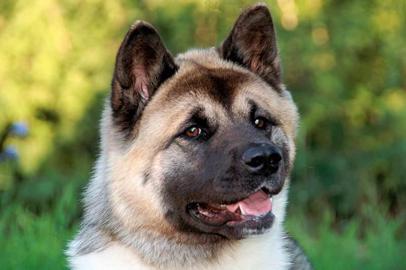 собака американская акита