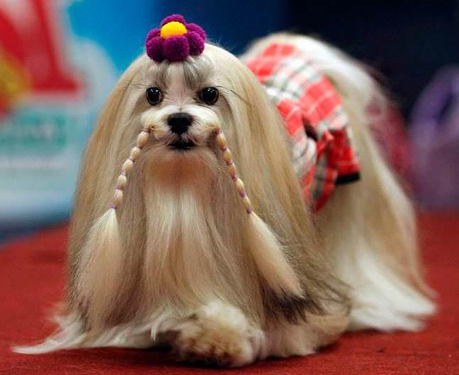 Собака лхаса апсо - характеристика и описание породы