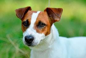 короткошерстные породы собак фото