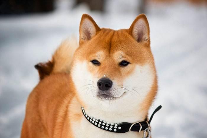 собаки японские породы