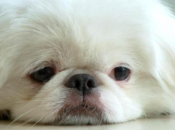 собаки королевский пекинес фото