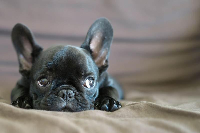 Французский бульдог фото собаки цена описание породы