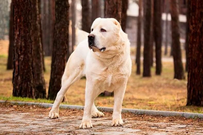 собаки алабай фото с названиями пород